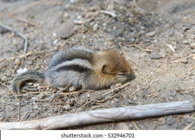 Sleeping baby chipmunk