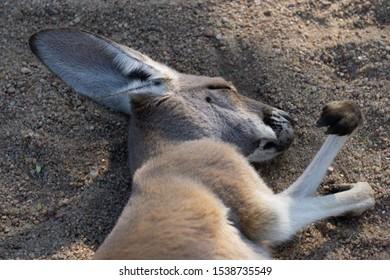Sleeping Baby Kangaroo Joey Tired