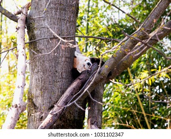 Sleeping baby red panda over a tree, horizontal image