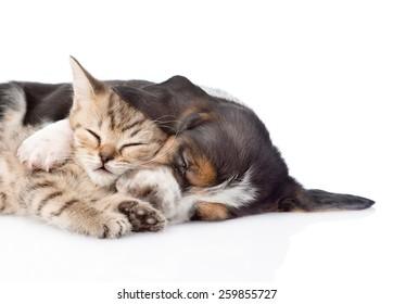 sleeping basset hound puppy hugs tiny kitten. isolated on white background
