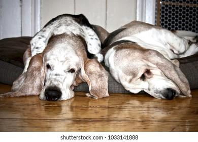 sleeping basset hounds