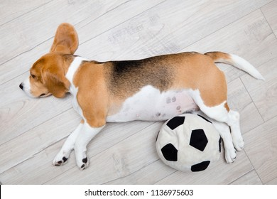 Sleeping beagle dog. Dog lying on wooden floor with ball toy and relaxing after training.