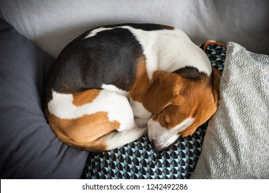 Sleeping beagle on the sofa in living room