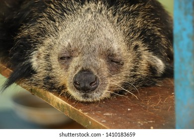 A sleeping bearcat or Arctictis Binturong at a Cuc Phoung National Park in Ninh Binh, Vietnam