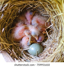 sleeping Blackbird Chicks in the nest