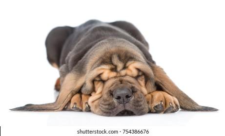 Sleeping bloodhound puppy. isolated on white background