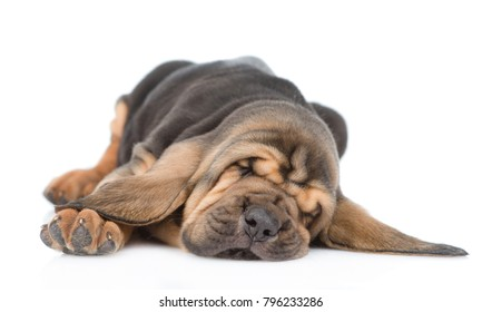 Sleeping bloodhound puppy. isolated on white background