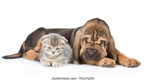 Sleeping bloodhound puppy and kitten lying together. isolated on white background