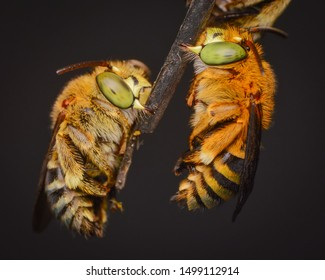 sleeping blue banded bee (Amegila zonata) hanging on dry branch and leaf