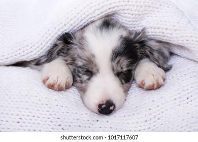 Sleeping border collie puppy on white background