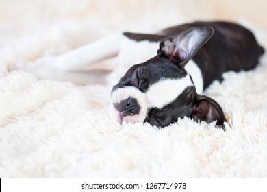 Sleeping Boston Terrier puppy.