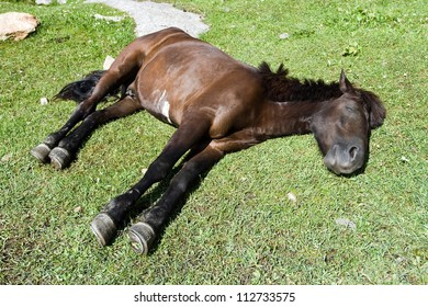 sleeping brown horse on green grass