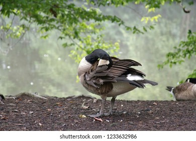 Sleeping Canadian goose taking a nap by the water's edge with its head flexibly tucked beneath its feathers