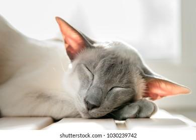 Sleeping cat. Breed oriental cat