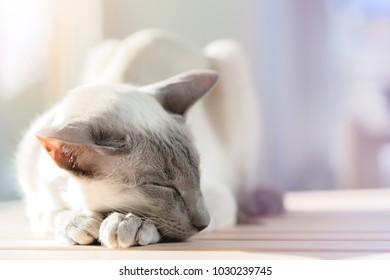 Sleeping cat. Breed oriental cat.