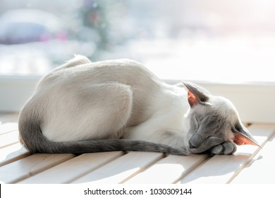 Sleeping cat. Breed oriental cat.