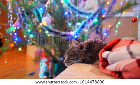 Sleeping Cat Maine Coon Glowing Christmas Stock Photo (Edit