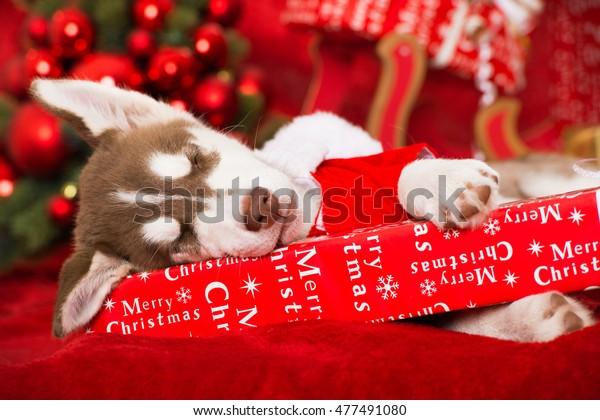 Husky Christmas Puppy.Sleeping Christmas Husky Puppy Stock Photo Edit Now 477491080