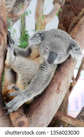 Sleeping Coala on tree