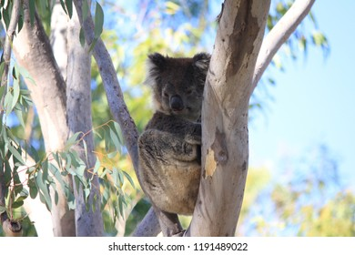 sleeping coala in tree