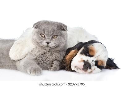 sleeping Cocker Spaniel puppy embracing Scottish cat. isolated on white background