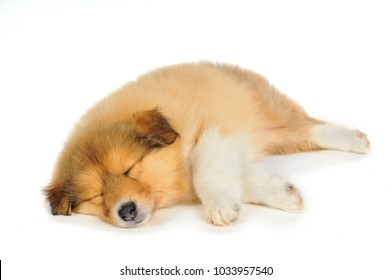 Sleeping collie on white background