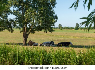 Sleeping cows in the shade of a tree in a pasture. Surroundings Krimpenerwaard, the Netherlands.