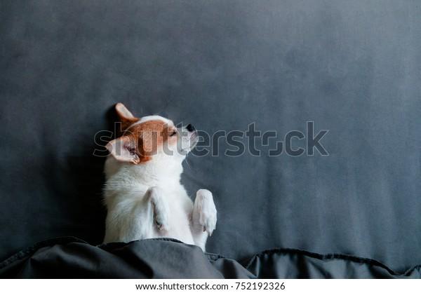 ベッドの毛布の下に眠るかわいいチワワワ犬