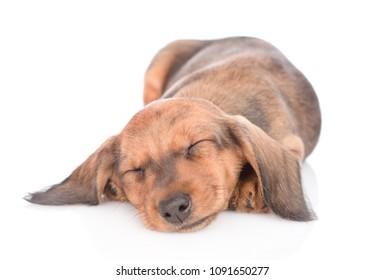 Sleeping dachshund puppy.  isolated on white background