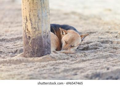 Sleeping dog at the beach, Sri Lanka, Asia