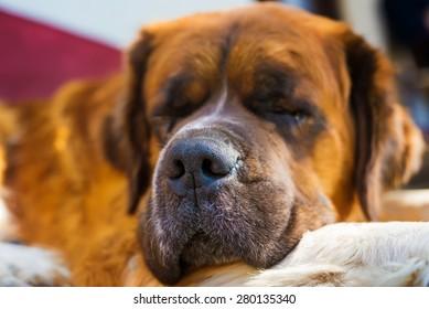 Sleeping dog. Bernard dog. Shallow depth of field.