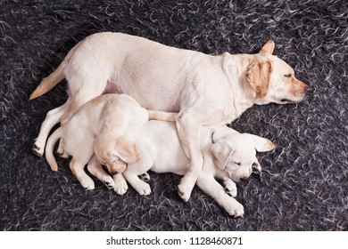 Sleeping  dog breed labrador mom hugs her two sleeping puppies