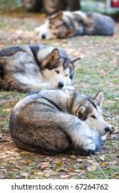 Sleeping dog breeds Alaskan Malamute