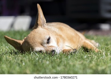 Sleeping Dog - Chiweenie napping outdoors in grass