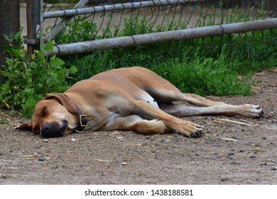 Sleeping Dog lays lazing in the warm summer day