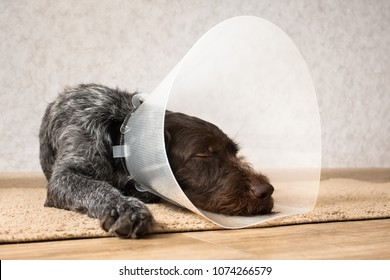 sleeping dog with plastic elizabethan (buster) collar