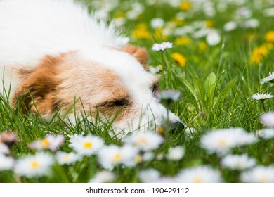 Sleeping dog in a spring meadow