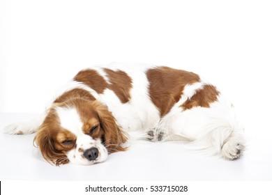 Sleeping dog. Dog sleeping in studio. White background. cavalier king charles spaniel sleep.