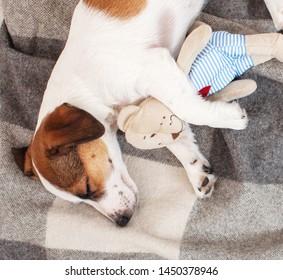 Sleeping dog with toy at home. Pet sleep on sofa