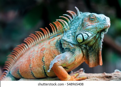 Sleeping dragon - Close-up portrait of a resting orange colored male Green iguana (Iguana iguana).