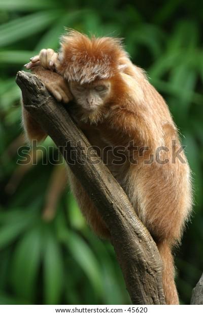 Sleeping ebony langur