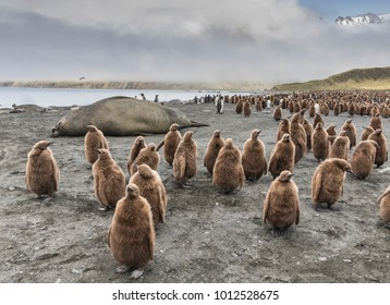 Sleeping elephant seal and king penguin chicks and adults at Gold Harbour, South Georgia Island