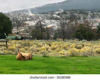 Sleeping elk in Yellowstone