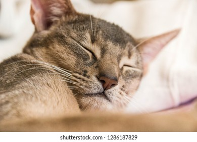 the sleeping face of a cute Abyssinian cat, selective focus