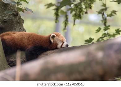 A sleeping firefox