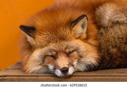 Sleeping fox close up, Japan,