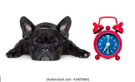 sleeping french bulldog dog  with alarm clock, isolated on white background
