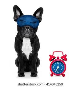 sleeping french bulldog dog   dreaming  and alarm clock isolated on white background
