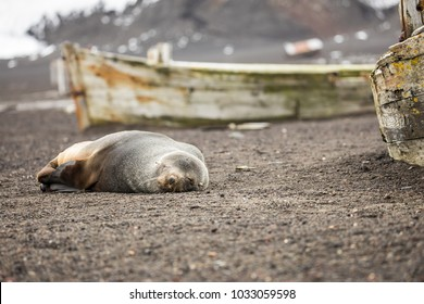 A sleeping fur seal on Deception Island Antarctica
