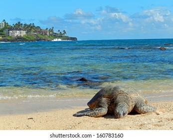 Sleeping green sea    Turtle  on Poipu beach, Kauai